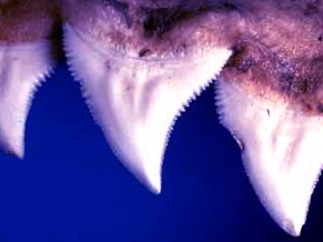 Зубы у акулы растут всю жизнь, располагаясь в пасти в несколько рядов.