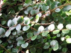Семейство: папоротниковые.  Ботаническое описание: небольшой декоративный папоротник около 30 см высотой...