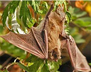 гороскоп майя - Летучая мышь
