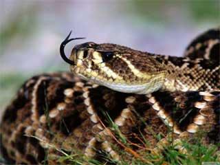 Почему змеи часто высовывают язык.